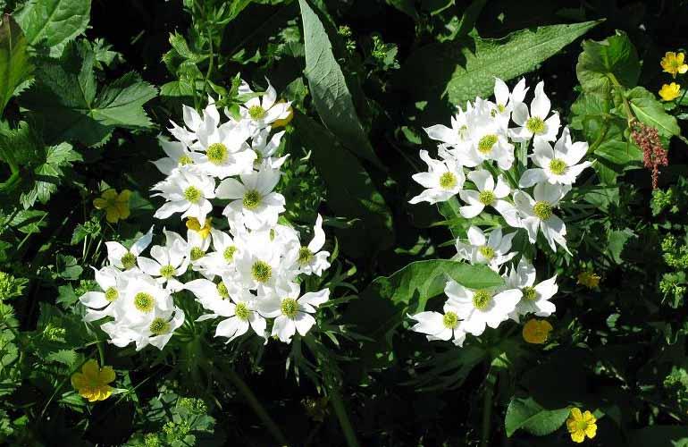 fiori al Rifugio Grassi