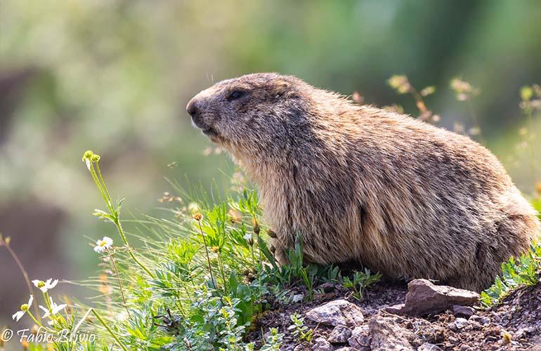 Marmotta presso il Rifugio Grassi